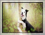 Border collie, Drzewo