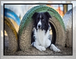 Border collie, Opony